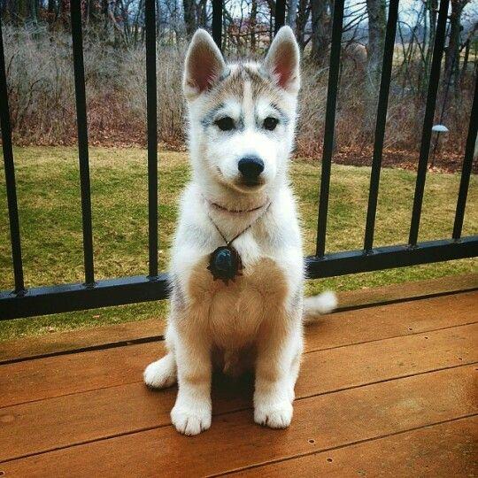 Husky Jack Russell Terrier Mix I M In Love Jack Terrier Dog