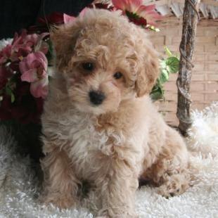 Poochon Or Bichon Poodle Puppy Poochon Puppies Poodle Puppy