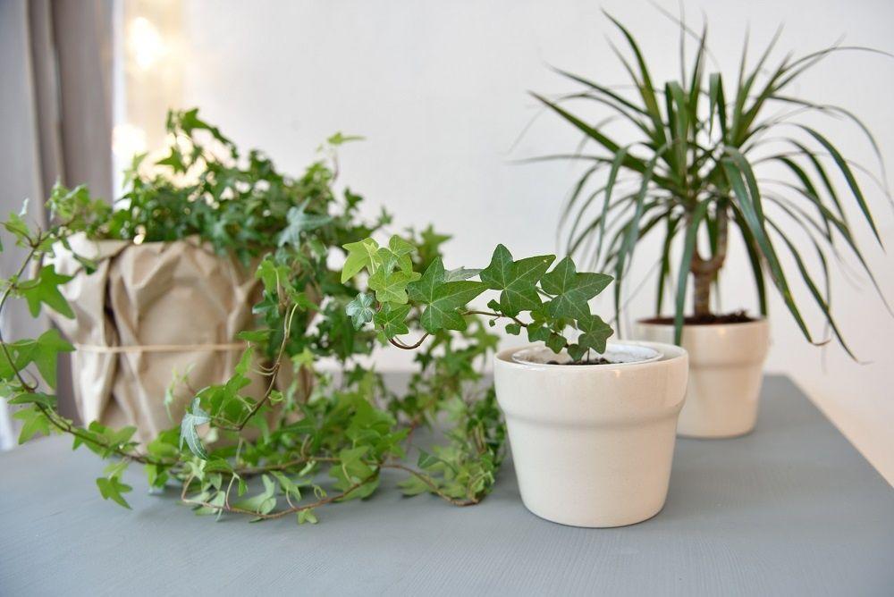 Растения очищающие воздух в квартире фото