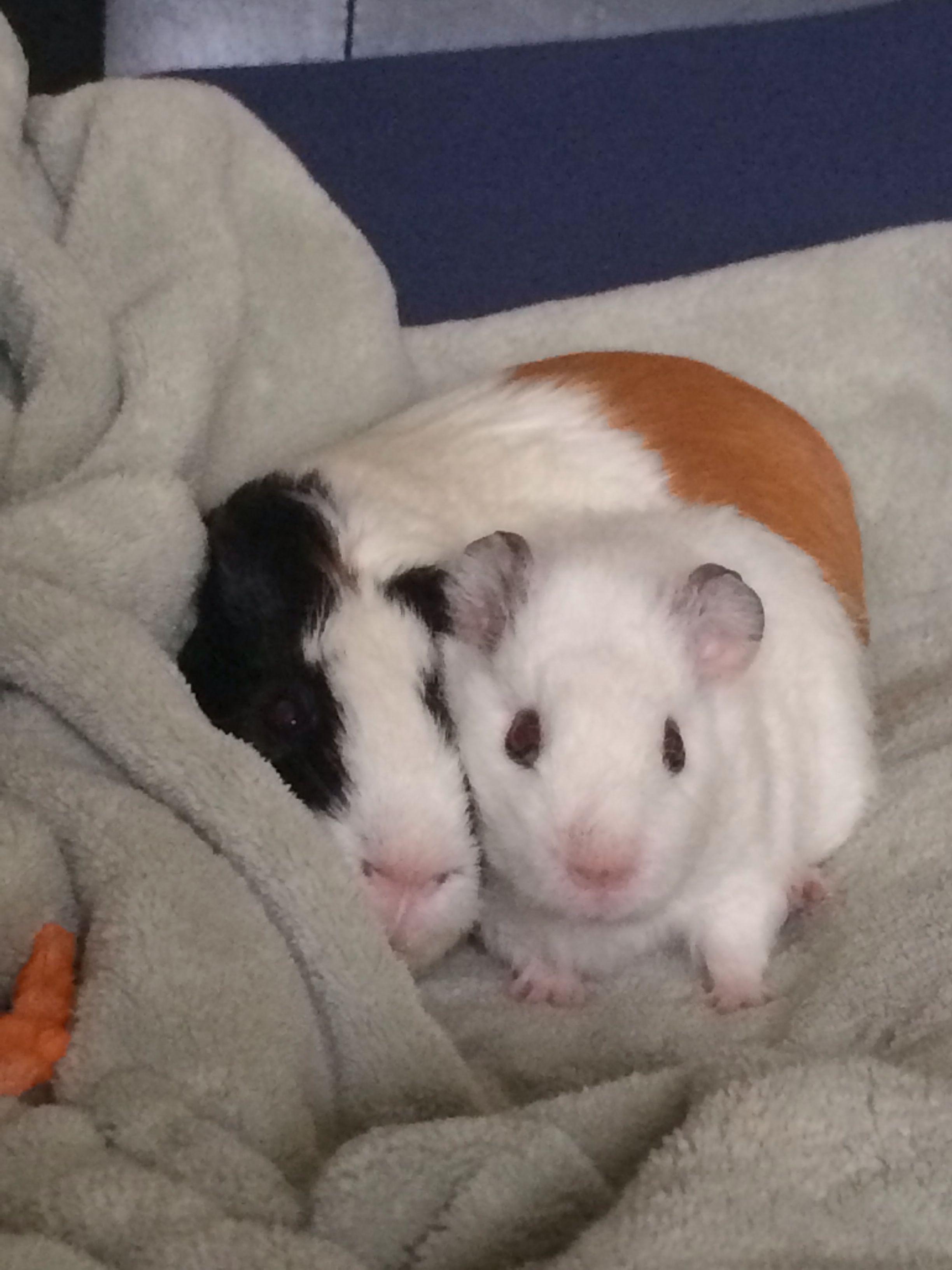 Piggy cuddles <3 | Conejillos De Indias | Pinterest | Indio, Conejo ...