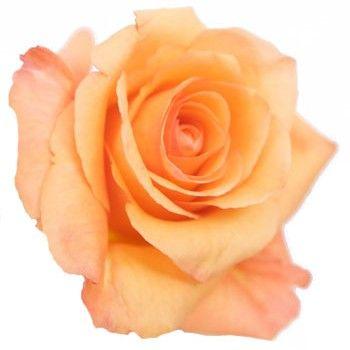 Twilight Light Orange Rose This Color Is So Pretty Too