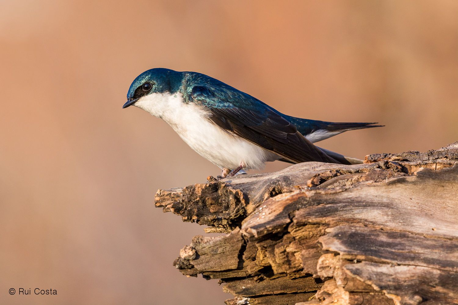 Tree Swallow by Rui Costa on 500px