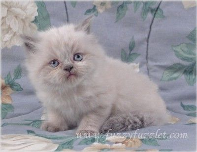 Virginia Doll Face Persian CT Doll Face Persian Kitten For