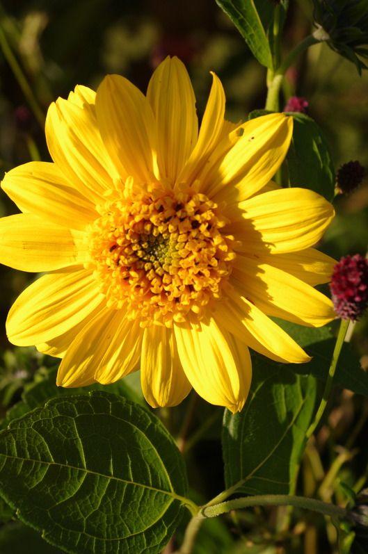 Helianthus Capenoch Star Agm Edible Plants Ornamental Plants