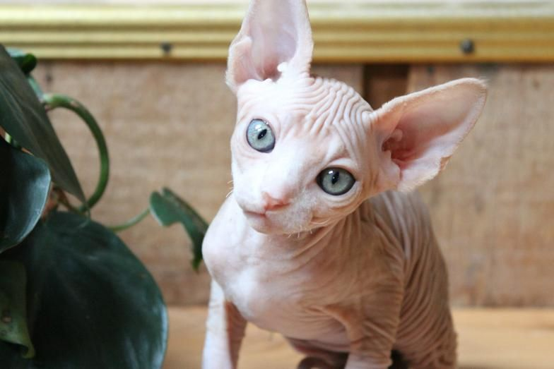 Image result for sphynx kittens photos