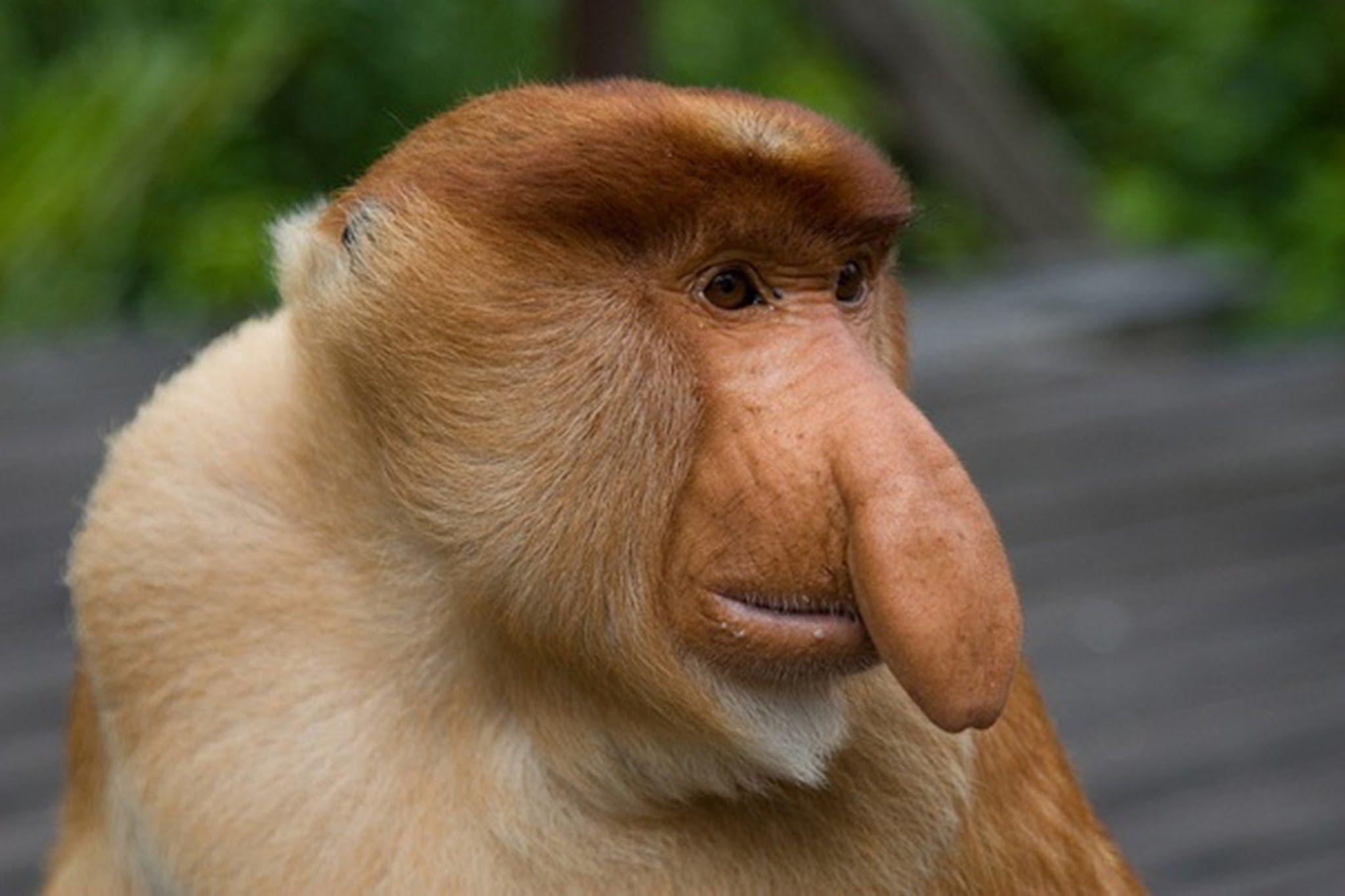 Big Nose Monkey Cerca Amb Google Animaux Animaux Bizarres