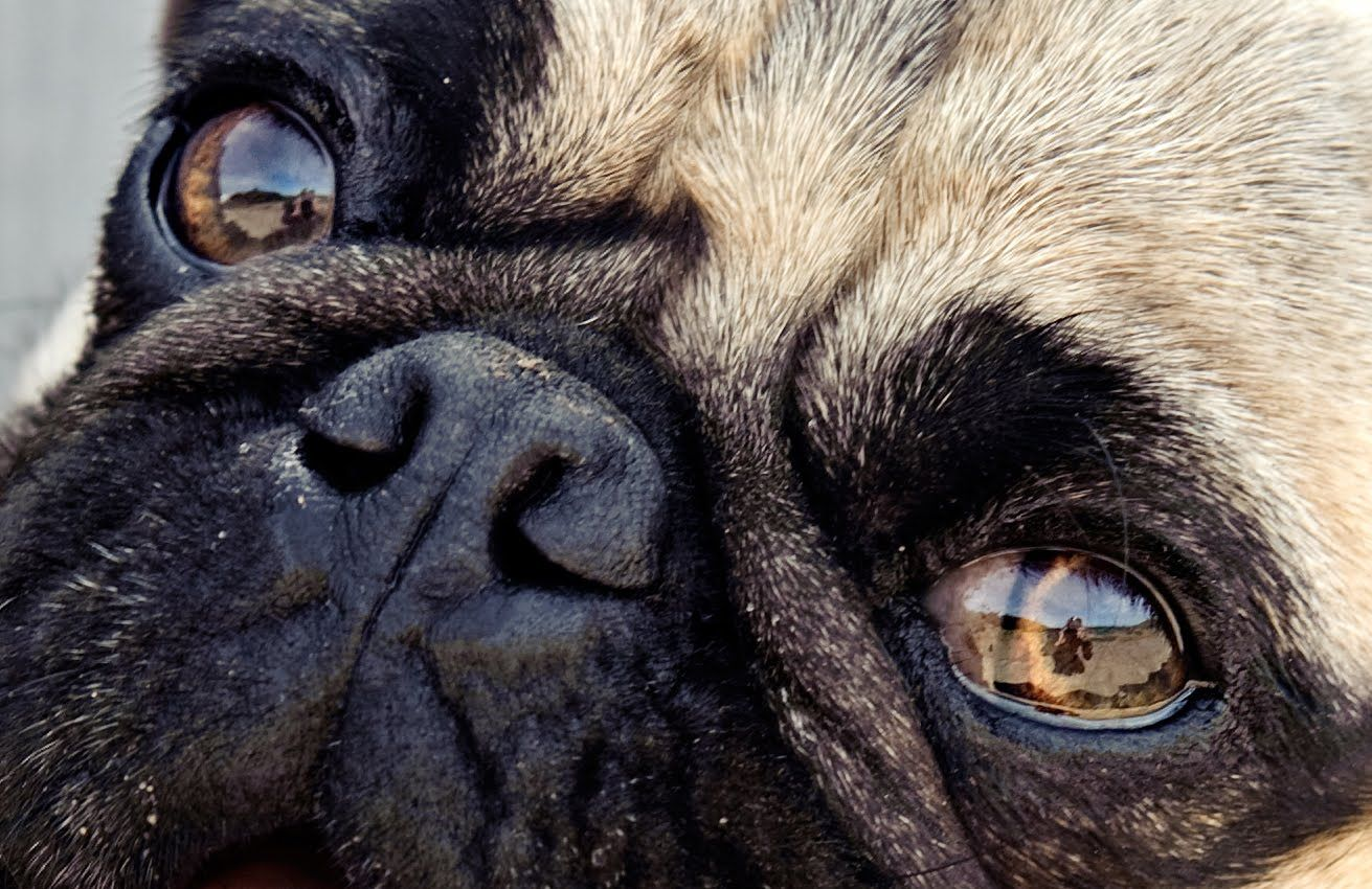 Common Eye Disorders Or Problems In Canines With Images Pugs