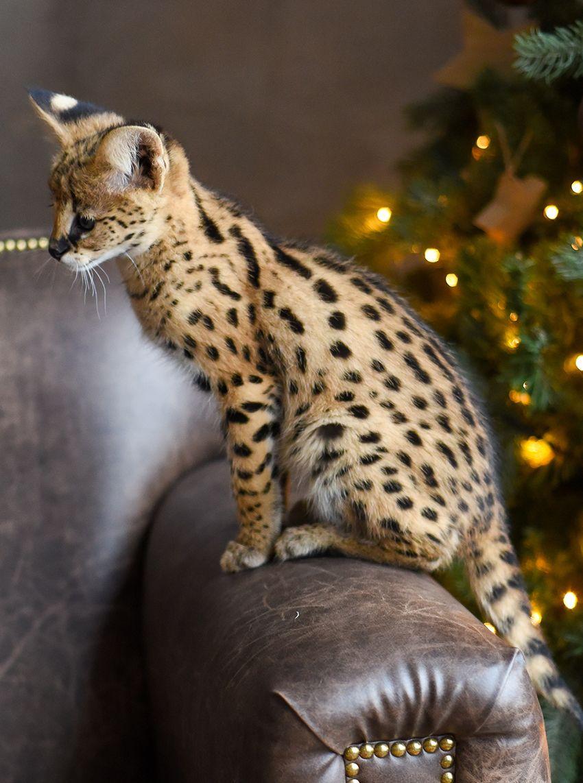 Pin de One Fast Cat en Savannah Cats | Pinterest