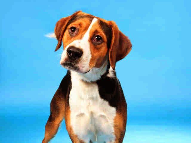 Adopt Oscar a Beagle Dog in Missouri Dog adoption