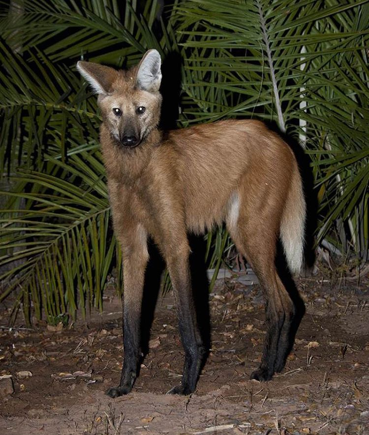 Aguarà guazú or Maned Wolf. South America. Maned wolf