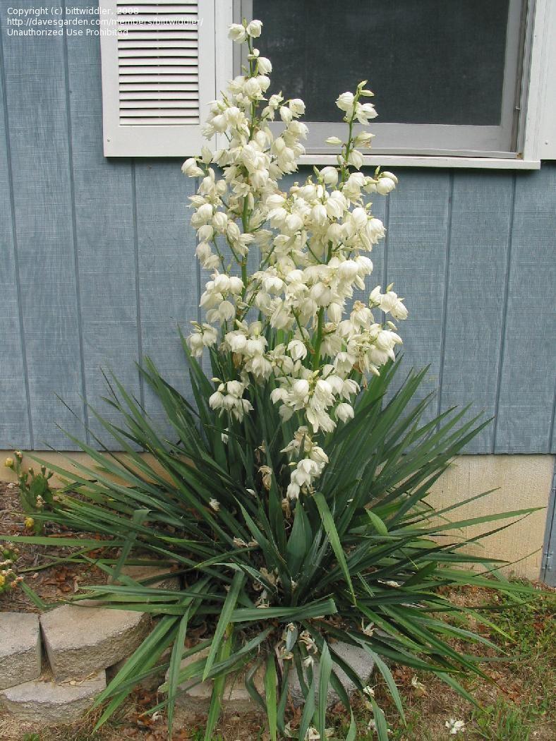 Les 25 meilleures id es de la cat gorie yucca gloriosa sur for Bouture yucca exterieur