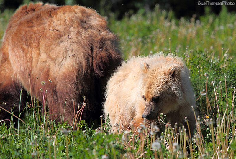 Grizzly Cub with Grizzly mother in the background