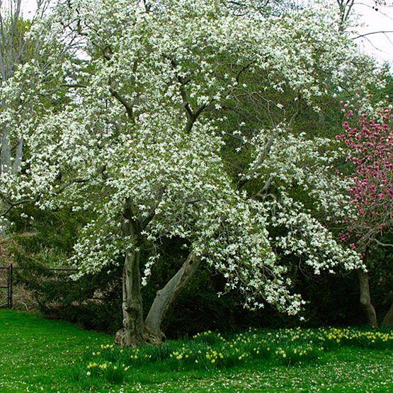 perennials magnolia latin name magnolia kobus zone 5 9 courtyard ideasgarden