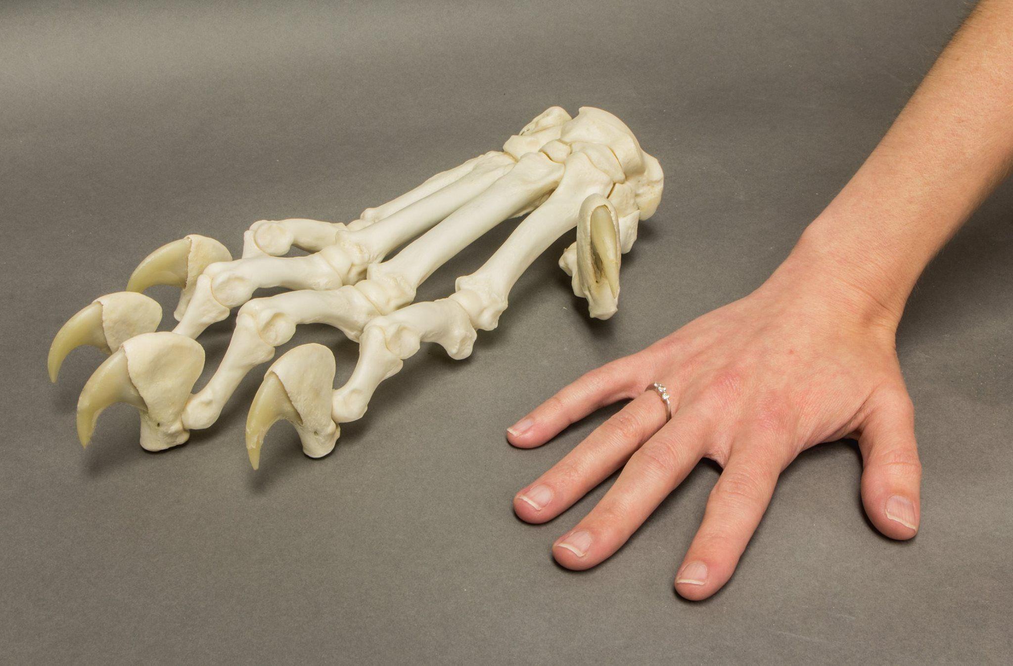 Cat Skeletal Anatomy Laminated Poster Animal Pinterest
