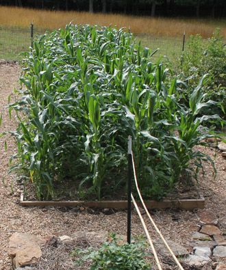 Growing Corn in Small Spaces | Wisconsin Gardening Web ...