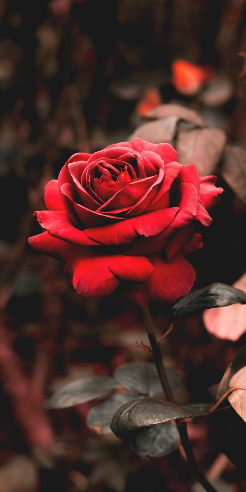 Red Rose Wallpaper Iphone Android Background Followme Wallpaper Mawar Wallpaper Mawar Merah Wallpaper Bunga Indah