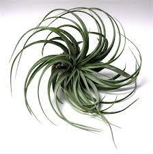 Capitata hybrid via canadainairplant.com チランジア エアプランツ カピタータ