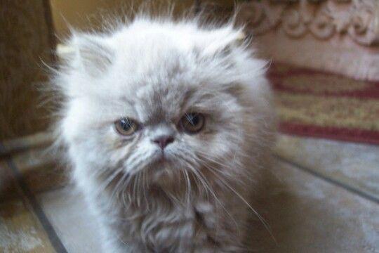 Persian Kitten Persian Kittens Kittens Animals