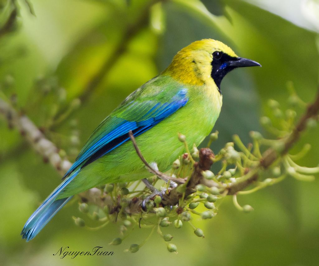 Blue Winged Leafbird Chloropsis Cochinchinensis Is A Species Of