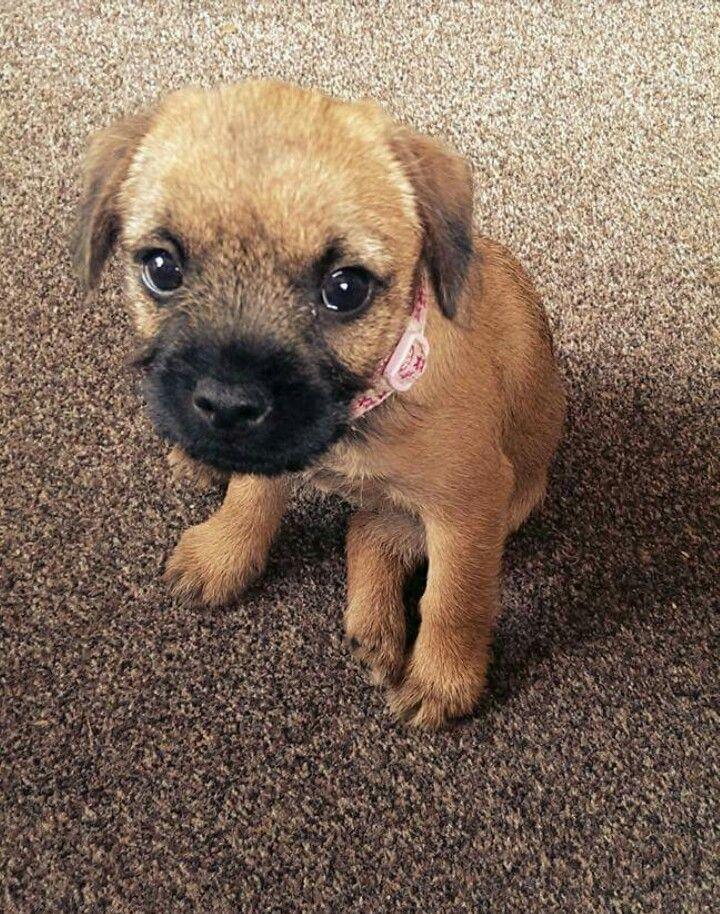 Gorgeous Border Terrier Puppy Patterdale Terrier Border Terrier