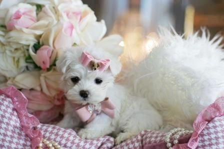 Teacup Maltese Puppies For Sale Florida Maltese Puppy Maltese