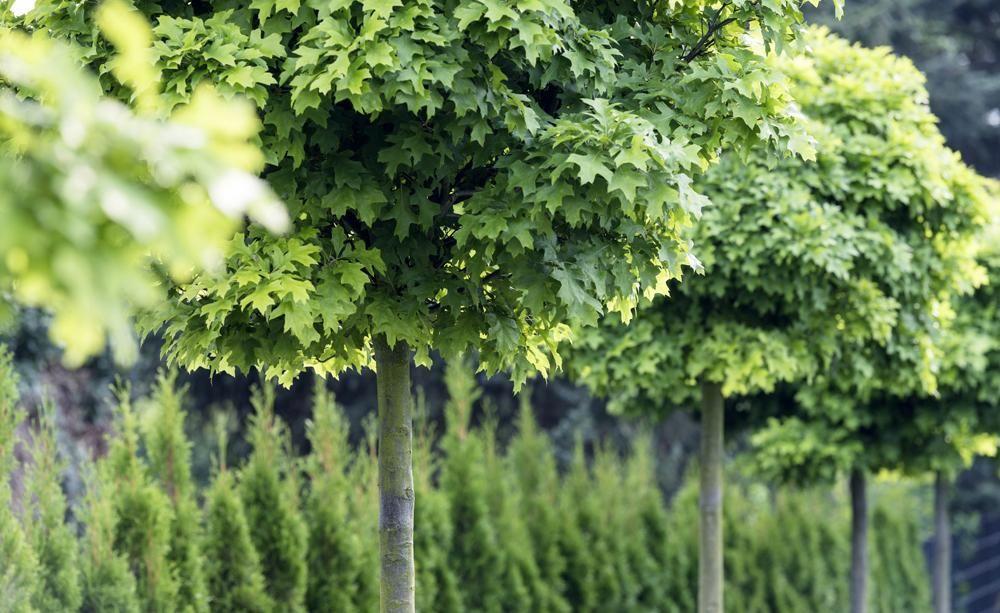 Beautiful Kugelb ume In jedem Garten ein Hingucker Kugelb ume sind markante Gestalten die wenig Platz brauchen und dennoch alles bieten was einen richtigen Baum