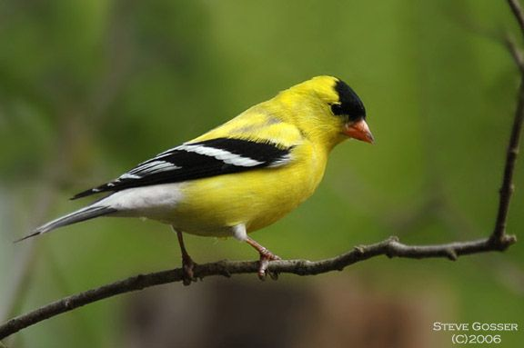 Golden Finch  I saw a couple of these in my backyard bird feeder and