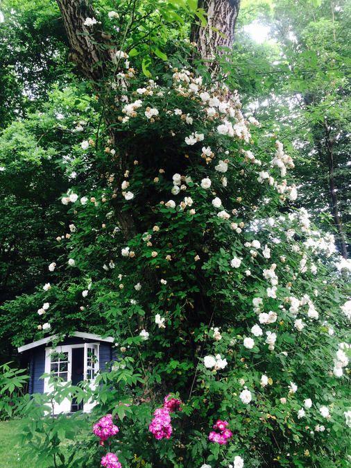Cottage garten pflanzen  Cottage-Garten-Pflanzen für Faule. Hier stelle ich Dir meine ...