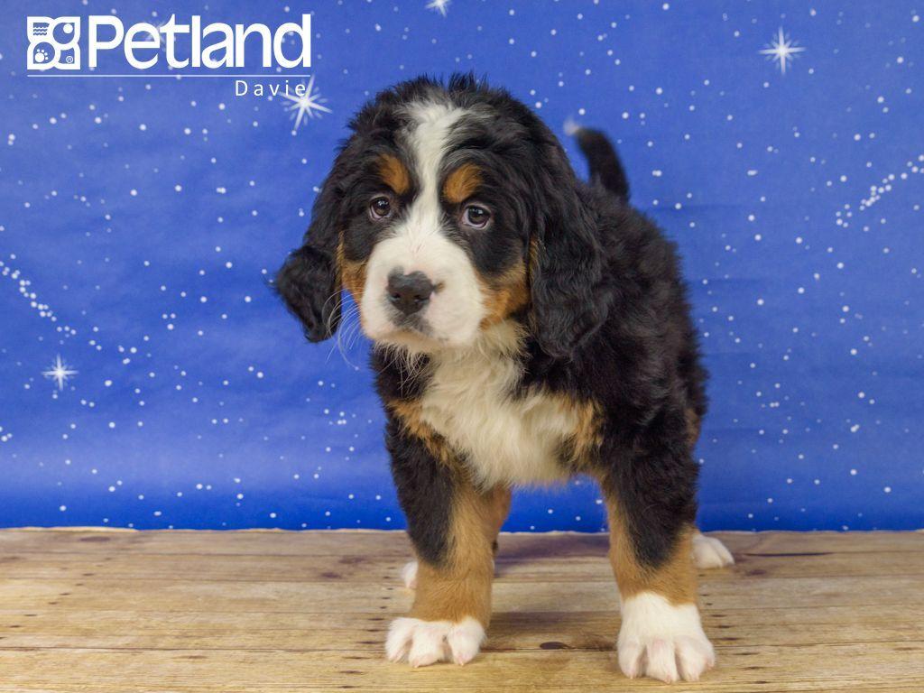 Petland Florida Has Bernese Mountain Dog Puppies For Sale