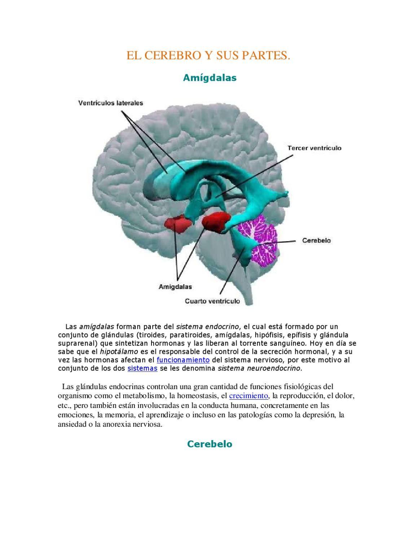 El cerebro y sus partes | Pinterest | El cerebro, Vertebrados y El ...