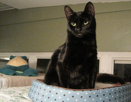 Meet Charlotte, a Petfinder adoptable Domestic Short Hair-black Cat | Stratford, CT | Charlotte is a sleek, black, adult female.  She is spayed and up-to-date on her vaccinations. ...
