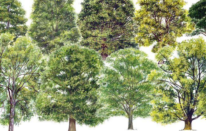 identifying british trees   I think that I shall never see ...