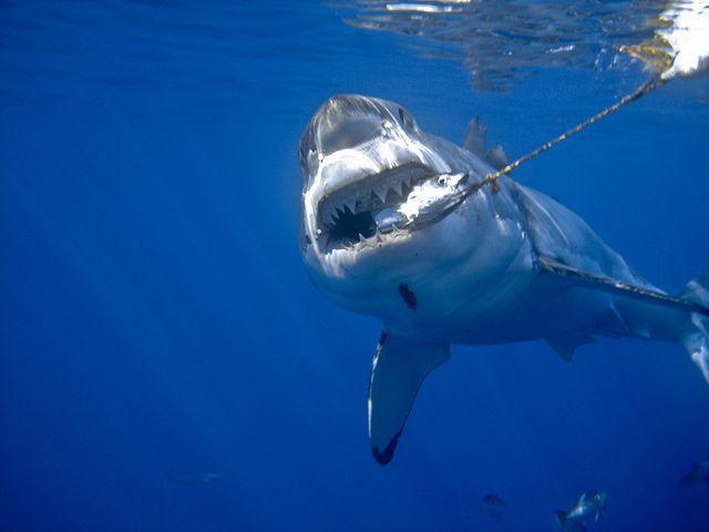 Great white shark bite | Tiburones, Océano y Pesca