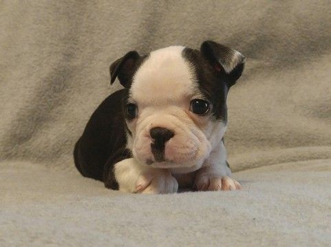 Litter Of 4 Boston Terrier Puppies For Sale In Lima Oh Adn 26208