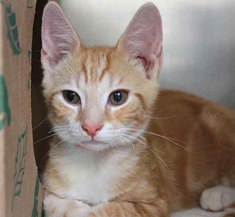 Adopt foxtrot a kitten at maryland spca pets kittens