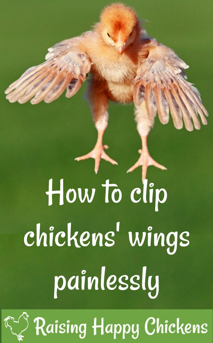 Clipping Chicken Wings The Quick And Painless Way Clipping Chickens Wings Laying Chickens Baby Chicks Raising