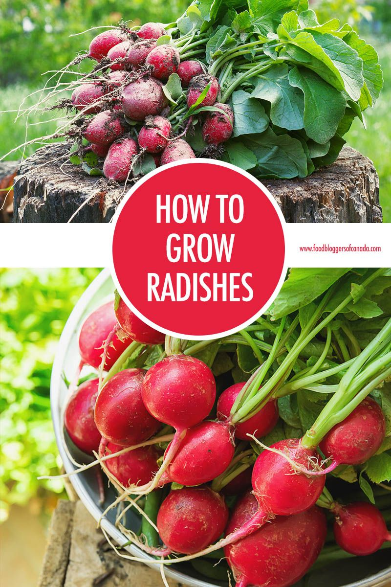 How To Grow Radishes At Home Organic Vegetables Home Vegetable