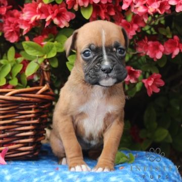 Litter Of 7 Boxer Puppies For Sale In Gap Pa Adn 30184 On