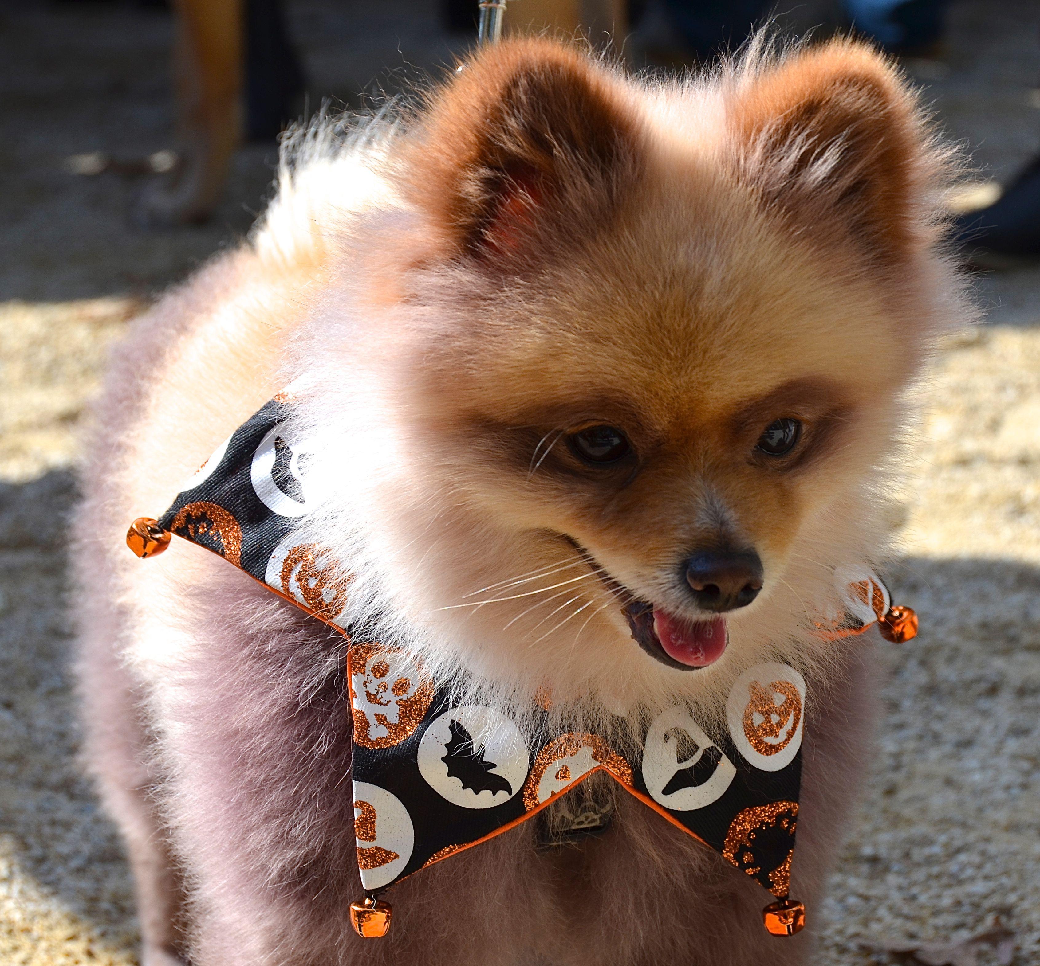 pomeranian #dogs #halloween #nyc looks like a fox!! | lol