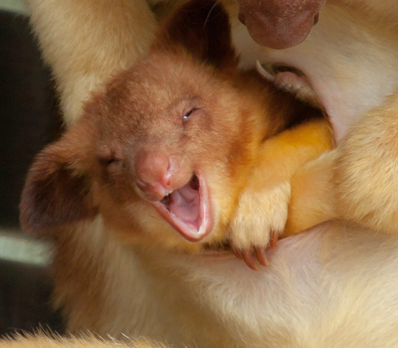 this adorable newborn joey is mani a rare goodfellows tree kangaroo imgur