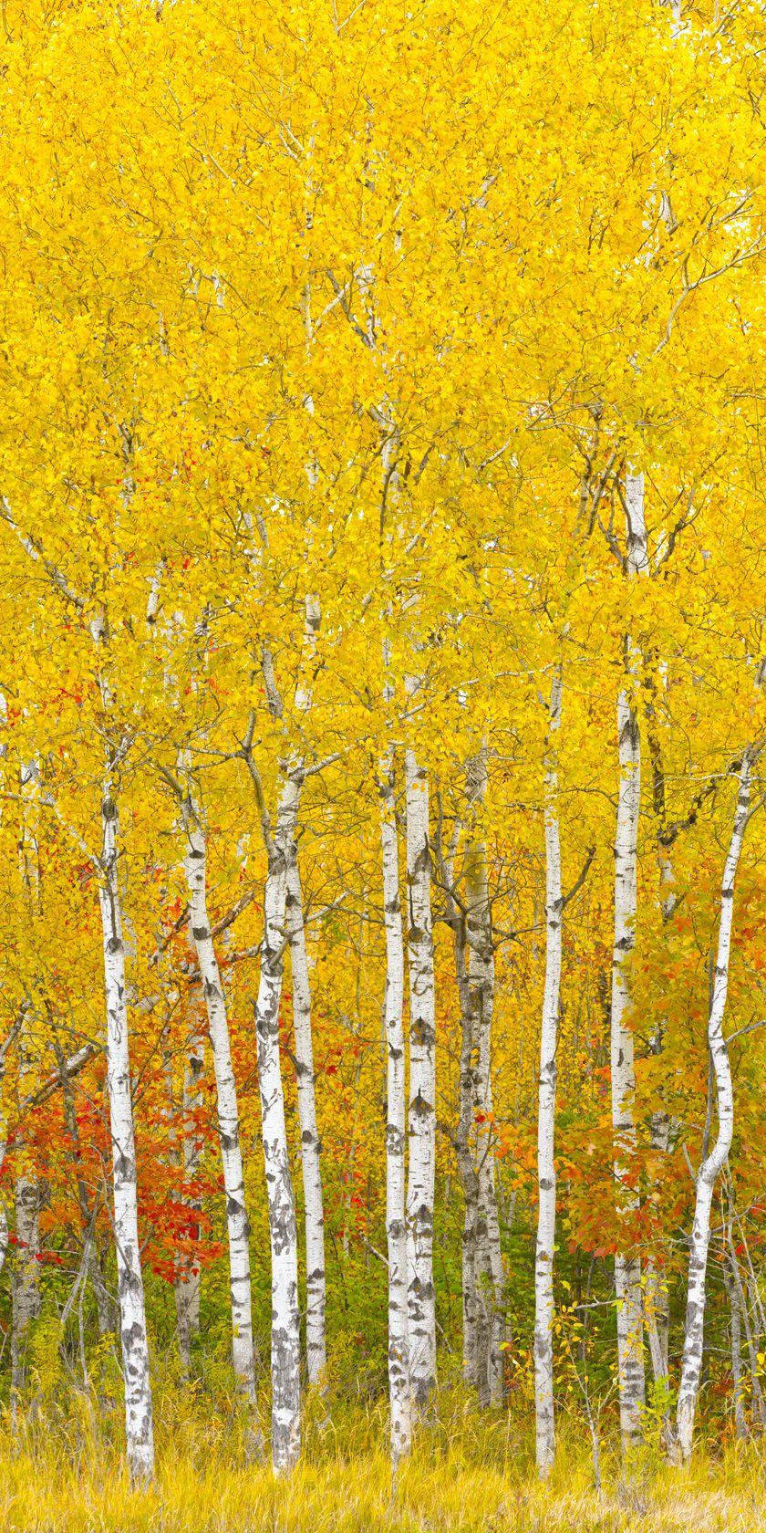 12 Species of Birch Trees in the Betula Genus