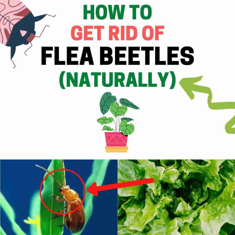 98d21fe89a182b8b854bb097381cce59 - How To Get Rid Of Flea Beetles In House