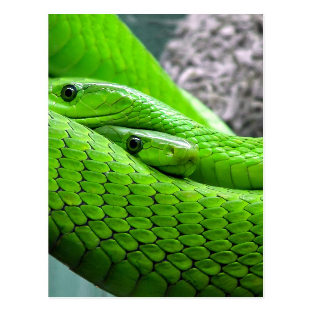 Green Snake Postcard Zazzle Com Mamba Snake Snake Support Animal