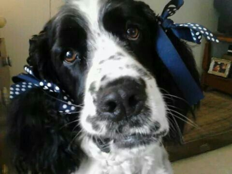 """""""Really, mom??"""" Sawyer, the black & white, bench bred, English Springer Spaniel  the most loving and loyal companion dog"""