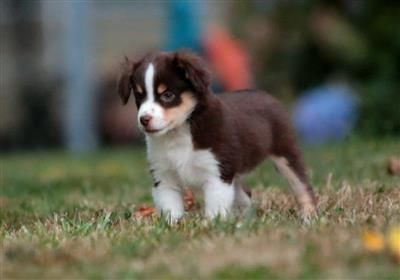 Miniature And Toy Australian Shepherd Puppies Looks Like My Dot