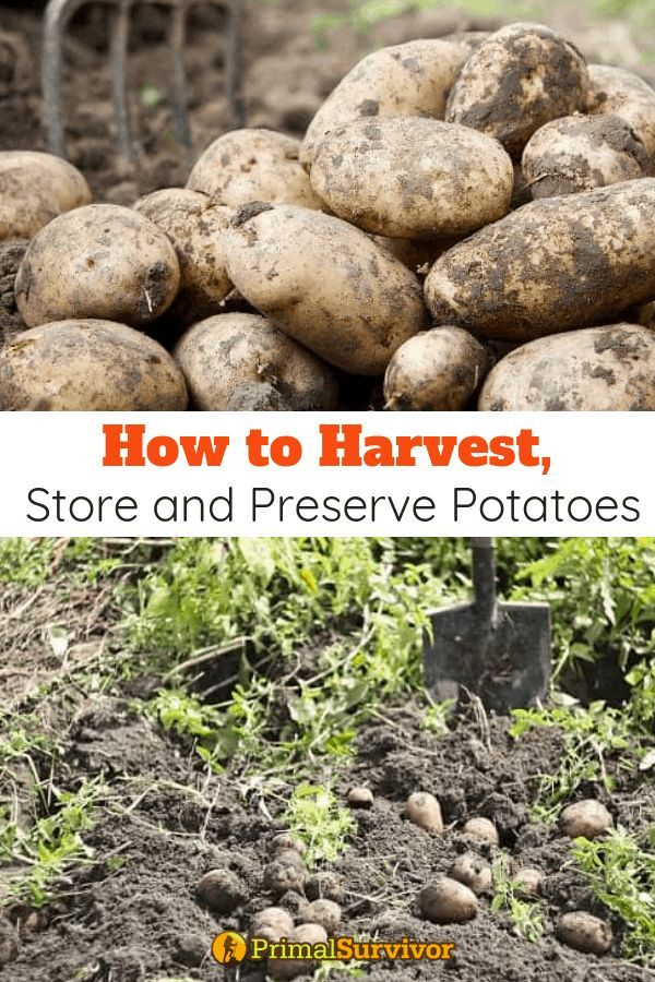 How to Harvest Store and Preserve PotatoesNutritious tasty easily grown and safe for longterm storage potatoes are a staple food for a reason And if the SHTF you cant hav...