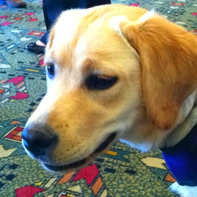 Wags A Gorgeous Diabetes Assistance Dog Trained By Www
