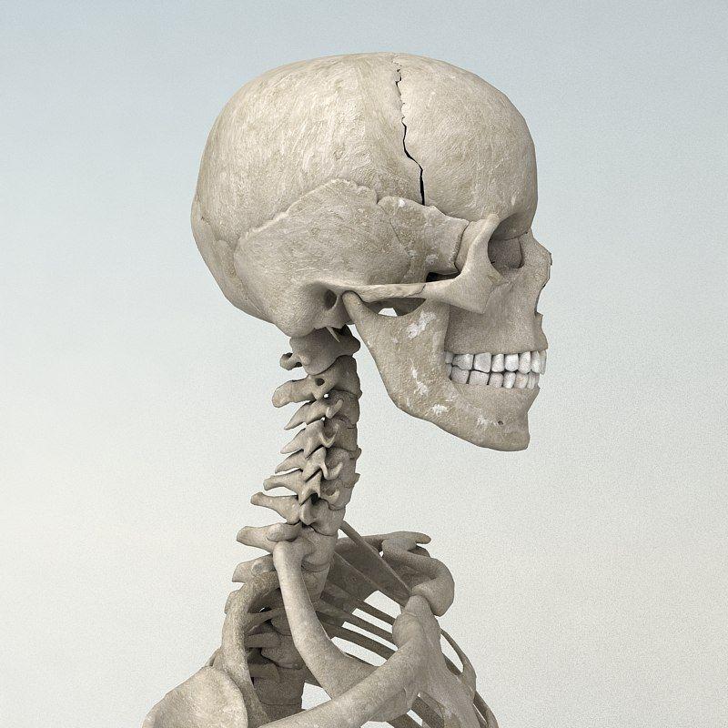 199 HD Human Skeleton 3d Model by IMAGEWORK. Rigged