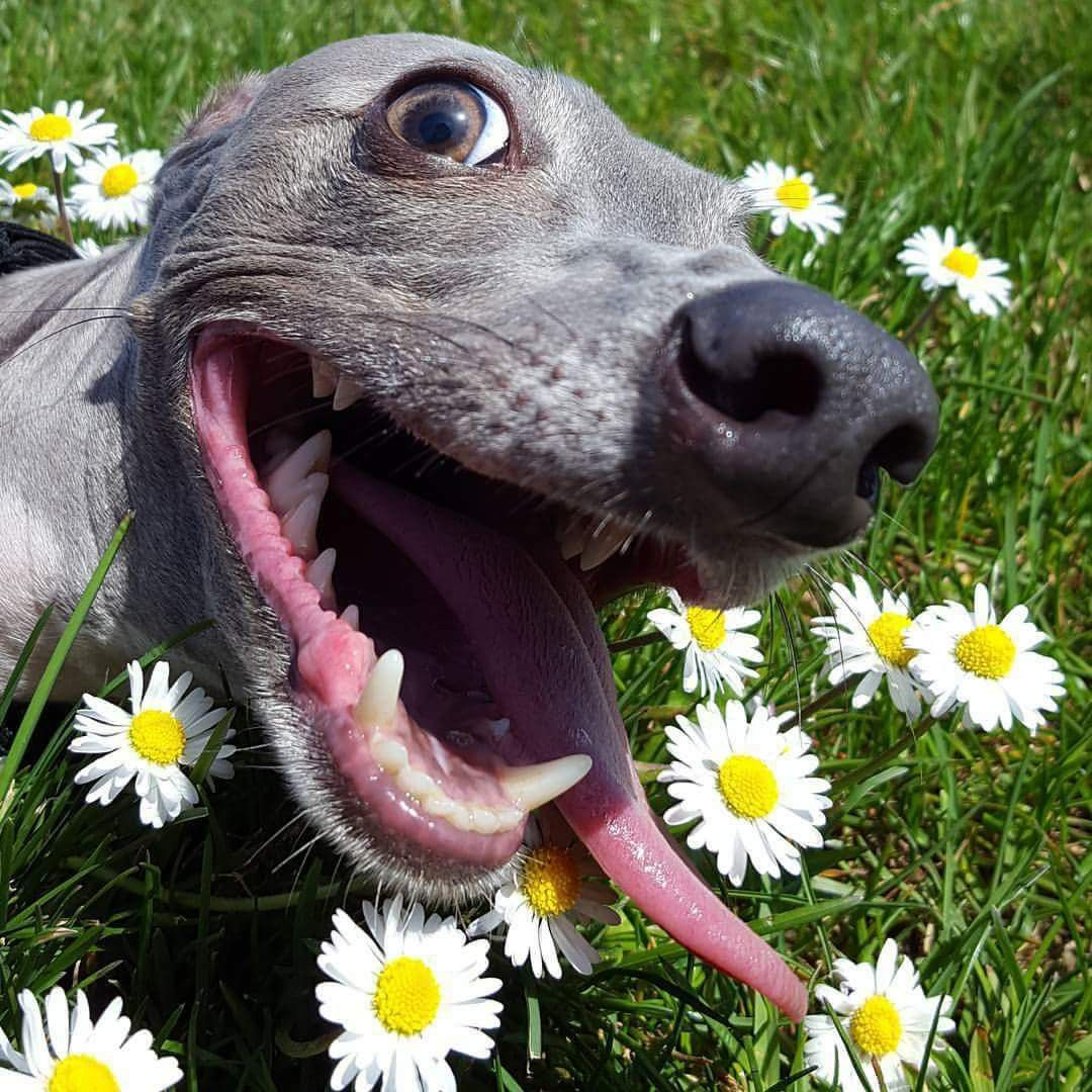 Asher The Italian Greyhound Says Hurray It S Friday Follow Him On Facebook Dog Expressions Grey Hound Dog Italian Greyhound