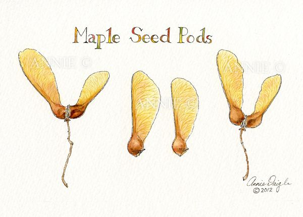 maple seed pods | Smorgasbord | Maple seed tattoo, Seed pods